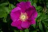 Blühende Heckenrose (Peter Goll thx for +6.000.000 views) Tags: erlangen germany rose heckenrose flower blume nikon nikkor d850 macro makro 105mm