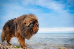 Tibetan Mastiff Beach Days (learnliveinspire) Tags: tibetan mastiff dog dogs fam family love beach water lioncoat pets pet long island ny