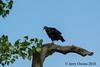 20180517-IMGP1190 (JerrysPhotographs) Tags: bird blackvulture oklahoma sequoyahnationalwildliferefuge vulture wildlife