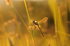 la regina di maggio! (SimonaPolp) Tags: dragonfly bug insect animal wild wings gold may spring sunset bokeh sun light life grass