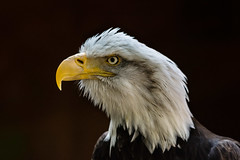 ok who took the comb (jeff.white18) Tags: baldeagle eagle bird feathers birdofprey preditor raptor portrait eye nature beak nikon flickr