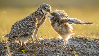 feeding time at the burrowing owl family mound