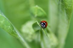 Nature Meditation (dianne_stankiewicz) Tags: wildlife ladybug insect nature moment meditation