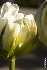 Spring (rumimume) Tags: potd rumimume 2017 niagara ontario canada photo canon 80d sigma spring sun day outdoor flower colour color nature closeup 2018
