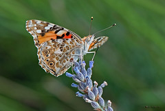 Vanessa cardui (Linnaeus 1758) (ajmtster) Tags: mariposas lepidopteros vanessacardui macro invertebrados ninfalidos butterfly butterflies lavanda nymphalidae
