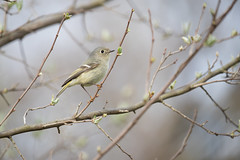 Ruby-crowned Kinglet, Eagle Creek Park, Marion County, Indiana, April 21, 2018 (Ryan J Sanderson) Tags: indianapolis indiana unitedstates us ryan sanderson canon 1dx mark ii 600 f4 is l 14x tc iii rubycrownedkinglet eaglecreekpark marioncounty april21 2018