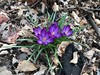 gonna make it work, somehow (KevinIrvineChi) Tags: boingboing hopeful hope growing leaves green iphone7 iphone april 2018 brown cold spring orange purple illinois chicago albanypark flowers crocus bulbs
