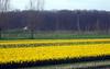 Daffodils (Martin van Duijn) Tags: flowers tulips hyacinthus daffodils bollenstreek holland netherlands