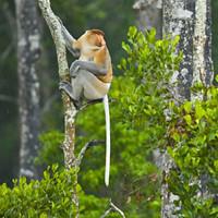 1219929 (Tripple Digits) Tags: asia borneo habitat labuk malaysia males mammals monkeys primates reserve sandakan tropicalrainforest vertebrates jcm