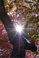 """First of the Autumn Leaves"" Blackheath, Blue Mountains, Australia (April 2018) (Kommie) Tags: blue mountains australia blackheath autumn leaves sunstars nature fujifilm xpro2 fujinon 35mm f2 wr"