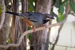 Red-legged Thush (karenmelody) Tags: animal animals bird birds cuba passeriformes redleggedthrush turdidae turdusplumbeus vertebrate vertebrates passerine passerines perchingbirds