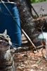 Camille with garden-y bokeh (rootcrop54) Tags: camille tabby female cat tiger stripes striped garden outside outdoors neko macska kedi 猫 kočka kissa γάτα köttur kucing gatto 고양이 kaķis katė katt katze katzen kot кошка mačka gatos maček kitteh chat ネコ