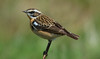 Whinchat- Male (John Tymon) Tags: rare whinchat bird migrant