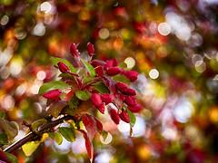 Funfair (BeMo52) Tags: ornamentalappletree blossoms natur nature spring frühling flora bokeh farbe gehölz zierstrauch malus