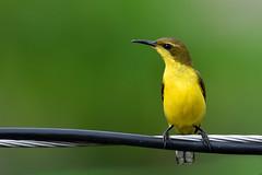 Olive-backed Sunbird female (Cinnyris jugularis) (Thanks for 2 million views) Tags: olivebackedsunbird cinnyrisjugularis