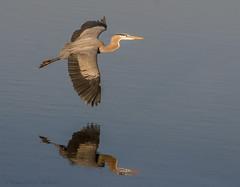 soaring (marianna_a.) Tags: bombayhook wildlife refuge delaware usa birds fishing evening fauna mariannaarmata