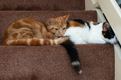 Half way up the stairs. (Evoljo) Tags: stairs cats pussys wood carpet pets 2 tail fur eyes ears hazard resting nikon d500