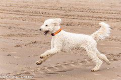 Blonds have more fun? (RCB4J) Tags: ayrshire rcb4j ronniebarron scotland sonydt1870f3556 sonyilca77m2 art photography irvinebeach beach sand sea clydecoast firthofclyde dogs smiles happy playing running jakob babygrace trailhound siameselurcher dobermanterrier