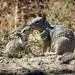 Parent & juvenile California Ground Squirrels (Otospermophilus beecheyi)