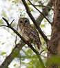 Barred Owl (swmartz) Tags: owls barred outdoors wildlife virginia crowsnest may 2018 nikon nature