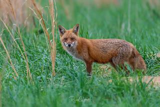 Red Fox - Vulpes vulpes | 2018 - 9