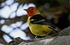 Western Tanager ~(Piranga ludoviciana) (Joyce Waterman) Tags: western tanager piranga ludoviciana woodlawn cemetery