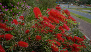 Callistemon or Bottlegrushes