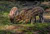 JWL7594  Humbugs! (jefflack Wildlife&Nature) Tags: wildboar boar boars piglets pigs wildlife woodlands animal animals woods woodland forest forests forestry forestofdean countryside nature