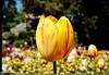Lente @Kruidtuin Leuven (Kristel Van Loock) Tags: leuven kruidtuin kruidtuinleuven leuvensekruidtuin louvain hortusbotanicuslovaniensis lovanio lovaina löwen visitleuven atleuven seemyleuven loveleuven leuveninbeeld lente 2018 6mei2018 06052018 botanicalgarden botanischetuin botanischergarten ortobotanico jardinbotanique jardinbotaniquedelouvain jardimbotanico giardinobotanico spring spring2018 primavera printemps springtime vlaanderen vlaamsbrabant visitvlaamsbrabant visitvlaanderen visitflanders visitbelgium visitflemishbrabant brabantflamand brabantefiammingo flanders fiandre flandre flemishbrabant belgium belgique belgien belgië belgica belgio drieduizend leveninleuven tulp tulpen tulips springflowers lentebloem lentebloemen flowers fiore flora flores tulip fleurs