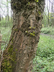 Poplar trunk (Baractus) Tags: warwickshire uk poplar unidentified earlswood moathouse nature reserve wildlife trust