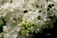 white lilacs (Judecat (embracing Spring!)) Tags: flowers nature whiteflowers mygarden lilacs whitelilacs
