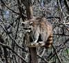 Bird Feeder Siege --- Vogelhaus-Belagerung --- Asedio de Comedero de Pájaros (1) (Walkuere123) Tags: birdfeeder vogelhaus spring frühling primavera siege belagerung asedio comederodepajaros procyonlotor raccoon waschbär mapache boreal nikond7200 nikkor18300mmf3563gedvr wood tree animal forest mammal