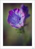 Me la regaló Primavera (V- strom) Tags: macrophotography macros macrofotografía macro texturas textura textures verde green rosa pink flor flower naturaleza nature petals pétalos estambres stamens violeta violet nikon nikon105mm nikond700 vstrom primavera spring luz light glow bokeh