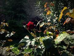 Rose flower, роза (Anna Gelashvili) Tags: цветокроза роза rose flower цветок flowers цветочки garden красныецветочки ვარდი roseflower