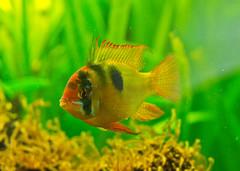 Fish of the day # 2 (schreibtnix on 'n off) Tags: aquarium tiere animals fische fish schmetterlingsbuntbarsch ram microgeophagusramirezi nahaufnahme closeup olympuse5 schreibtnix