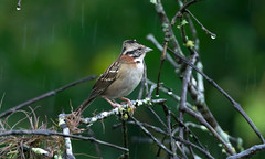Rufous-collared Sparrow (Guilherme Fialho Soares) Tags: nikon nature bird tree forestt forest travel picture photo photography green color colors colours photos pictures pic bokeh rain art artistic eyes beautiful beauty love animal wildlife brazil