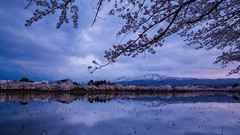 Sakura with Snow Mountain[Explore] (chikuma_riv) Tags: japan nature landscape river lake mountain forest flower sunset sunrise spring summer autumn winter leaves