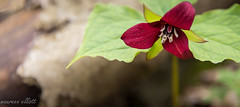 One Of My Faves (maureen.elliott) Tags: wildflower spring grwoing blooming red trillium brucetrail hiking flower flora 7dwf