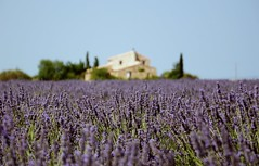 Provence (francesco scaramella) Tags: lavender flower field nature noperson agriculture countryside outdoors rural farm landscape summer flora crop farmland pasture fairweather country nikond90 provence colorimage