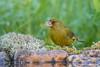 _DSC3639 (vilaramon) Tags: verdierdeurope carduelischloris europeangreenfinch passériformes fringillidés
