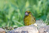 _DSC3832 (vilaramon) Tags: verdierdeurope carduelischloris europeangreenfinch passériformes fringillidés
