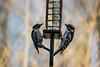 Downy woodpecker pair (Koku85) Tags: bird birds woodpecker ontario nature couple pair