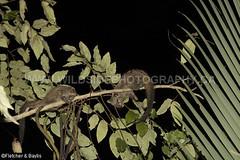 41249 Common Palm Civet (Paradoxurus hermaphroditus) juveniles in a tree at night, Kuala Selangor Nature Park, Selangor, Malaysia. IUCN=Least Concern. (K Fletcher & D Baylis) Tags: fauna mammal wildlife viverridae civet civetcat commonpalmcivet asianpalmcivet paradoxurushermaphroditus night nocturnal leastconcern kualaselangornaturepark selangor malaysia asia april2018