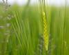 Spring (Role Bigler) Tags: canoneos5dsr dof emmental natur nature schweiz spring suisse switzerland tamronsp45mmf18divcusdf013 agricultur agrikultur frühling weizen weizenanbau wheat