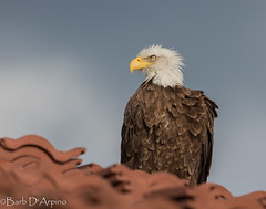 Bald is beautiful (naturethroughmyeyes.com) Tags: baldeagle nature wildlife outdoors bird prey raptor canon1dx eos1dx naturephotographer wildlifephotographer femalephotographer barbaralynne copyrightbarbdarpino barbaralynnedarpino barbdeardendarpino naturethroughmyeyescom florida usa northamerica