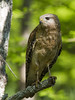Red-shouldered Hawk (AllHarts) Tags: redshoulderedhawk wcjohnsonpark colliervilleboardwalk colliervilletn naturesspirit thesunshinegroup naturescarousel ngc npc