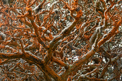 Cypress Trees at Point Lobos (snapify) Tags: america california montereycypress northamerica pointlobos us usa unitedstates unitedstatesofamerica algae coast coniferous cypress plants tree