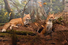 Red Foxes (Adventurer Dustin Holmes) Tags: 2018 wondersofwildlife animal animals fox foxes redfox redfoxes museum taxidermy exhibit animalia chordata display