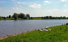 Nature Landscape (JaapCom) Tags: jaapcom ijssel water zwanen animals deer clouds zalk overijssel dutchnetherlands