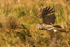 O'wl Go This Way ... You Go That Way! (ac4photos.) Tags: owl barredowl inflight bird nature wildlife animal florida naturephotography birdphotography owlphotography wildlifephotography animalphotography inflightphotography nikon d500 tamron150600mm ac4photos ac